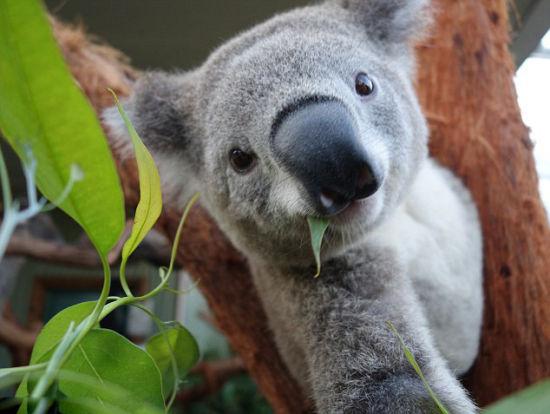 澳大利亚考拉把玩相机自拍卖萌