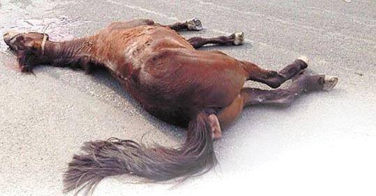 温州价值18万骏马被车撞死在闹市十字路口
