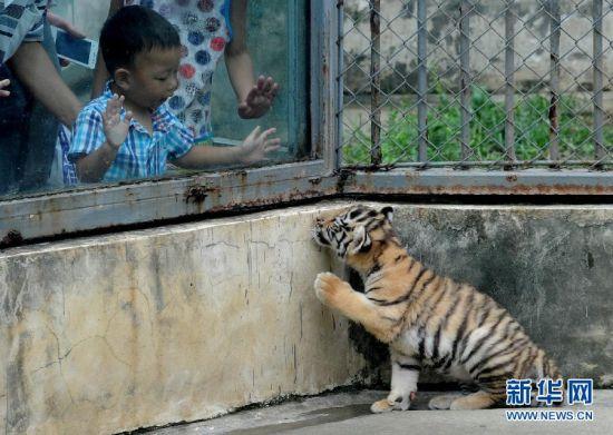 """苏州动物园的东北虎幼仔与游客""""打招呼"""""""